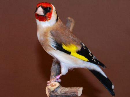 عصافير الحسون (3)