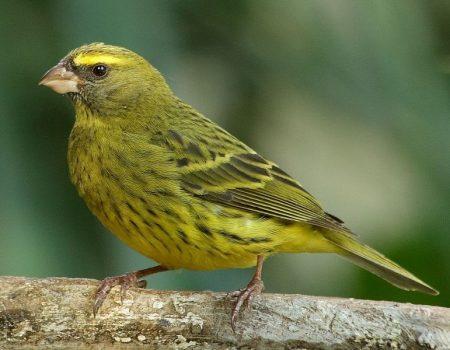 عصافير كناري  (1)