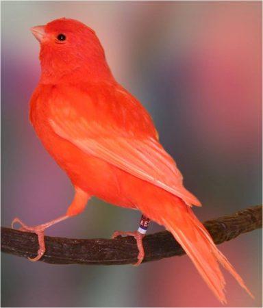 عصافير كناري  (2)