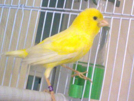 عصافير كناري  (3)