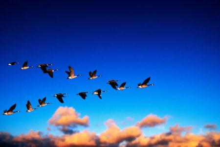 هل سبق لكم وشاهدتم أسراب الطيور في السماء دعونا نتعرف معا على هجرة الطيور والأسرار الكثير الكامنه ورائها مجلة فن التصوير