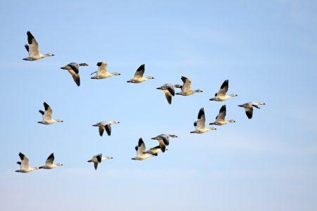 رمزيات طيور مهاجرة (4)