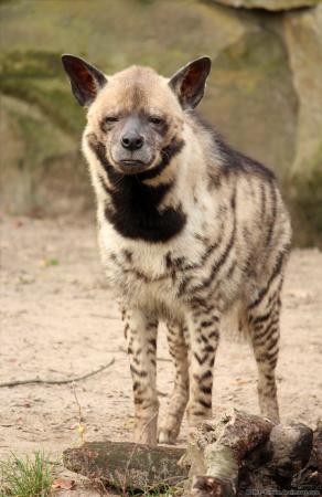 صور الضبع خلفيات حيوان الضبع بجودة HD (1)