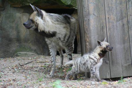 صور الضبع خلفيات حيوان الضبع بجودة HD (2)
