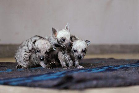 صور الضبع خلفيات حيوان الضبع بجودة HD (4)