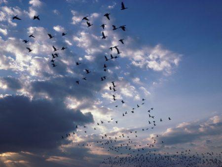 تابعوا معنا مجموعة كبيرة من صور الطيور المهاجرة وهي تشكل أسرابا جميلة ولوحات فنية رائعة تصلح خلفيات للأجهزة المحمولة والنقالة مجلة فن التصوير