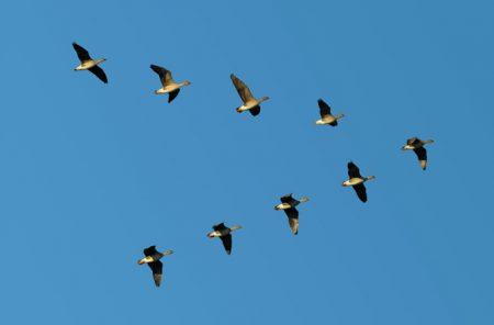نتيجة بحث الصور عن طيور مهاجرة