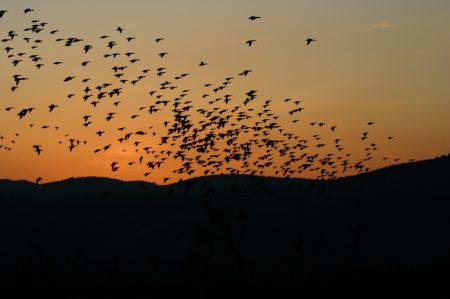 صور طيور مهاجرة (4)