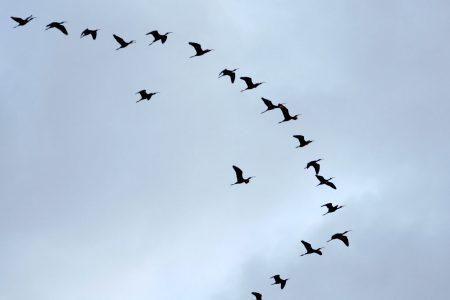 صور طيور مهاجره جميلة جدا (2)