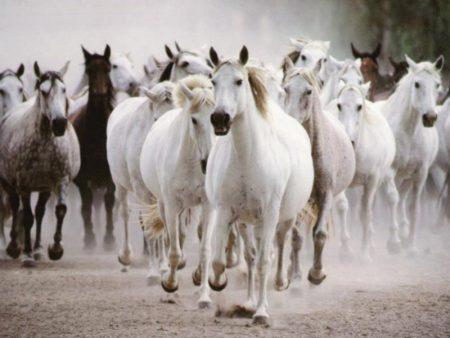 صور خيول بجودة hd (1)