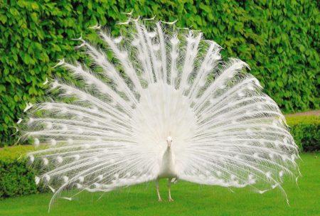 اجمل صور طاووس (2)