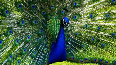 اجمل صور طاووس (3)