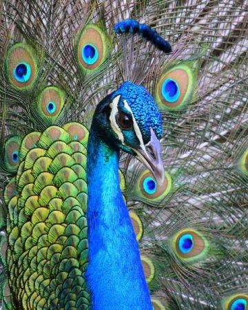 اجمل صور طاووس (4)
