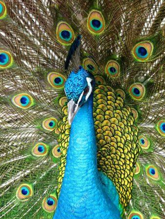 احلي صور اشكال طاووس (1)
