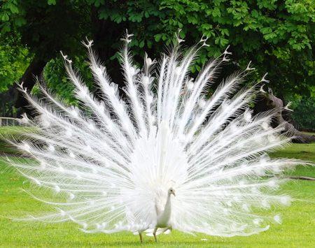 احلي طاووس (1)