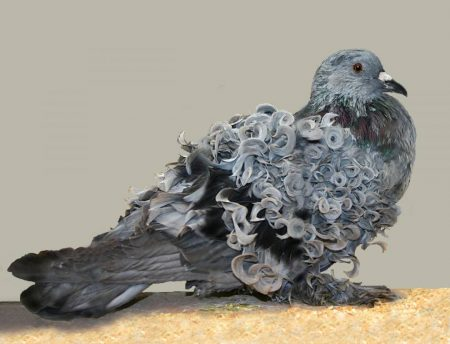 اشكال وانواع طيور الحمام (1)