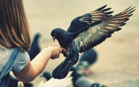 اشكال وانواع طيور الحمام (2)