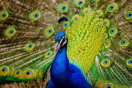 خلفيات طاووس (3)