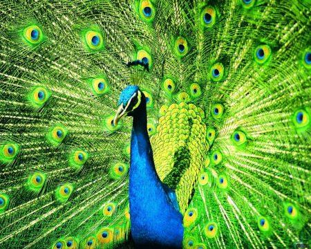 رمزيات طاووس (1)