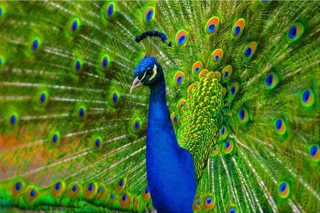 رمزيات طاووس (2)