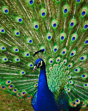رمزيات طاووس (4)