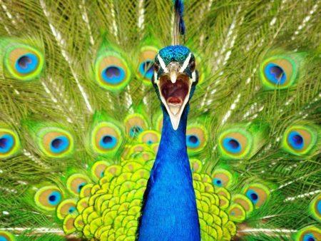 رمزيات وخلفيات طاووس (1)