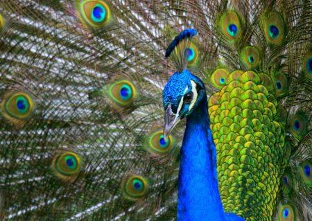 رمزيات وخلفيات طاووس (2)