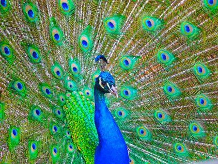 رمزيات وخلفيات طاووس (4)