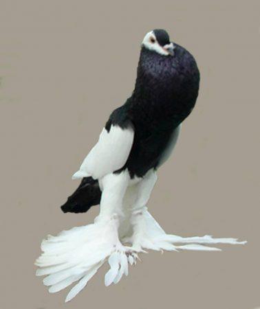 صور حمام زاجل اشكال وانواع طيور الحمام (1)