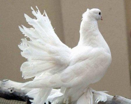 صور حمام زاجل اشكال وانواع طيور الحمام (3)