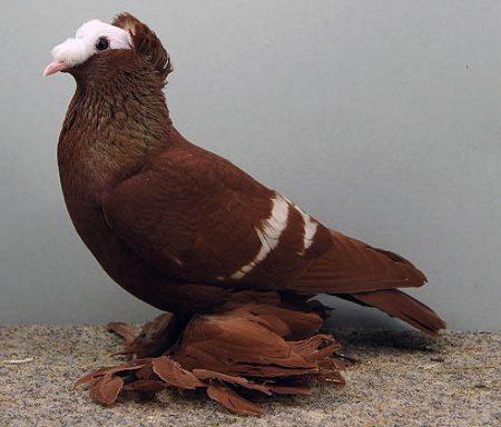 حمام زاجل اشكال وانواع طيور الحمام 4