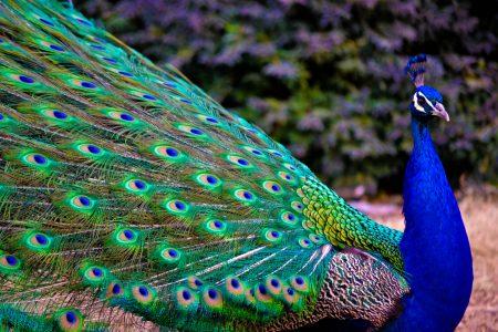صور طاووس جميلة (1)