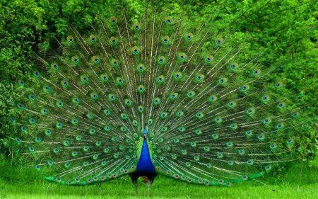 صور طاووس (3)