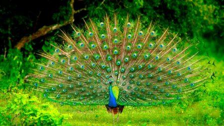 صور طاووس (4)