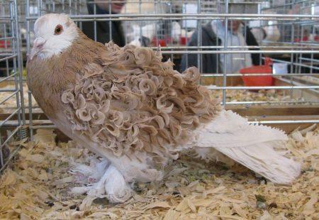 صور طيور حمام (1)