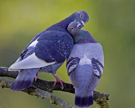 صور طيور حمام (2)