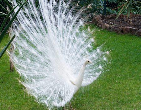 طاووس بالصور الوان الطاووس (1)