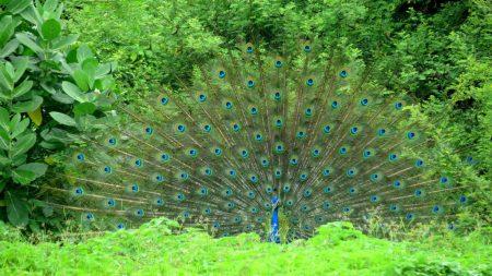 طاووس بالصور الوان الطاووس (4)