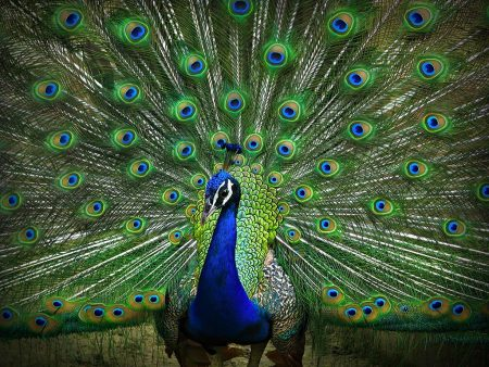 طاووس بالصور جديد (1)