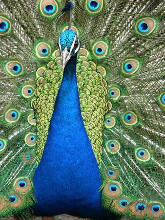 طاووس بالصور جديد (2)