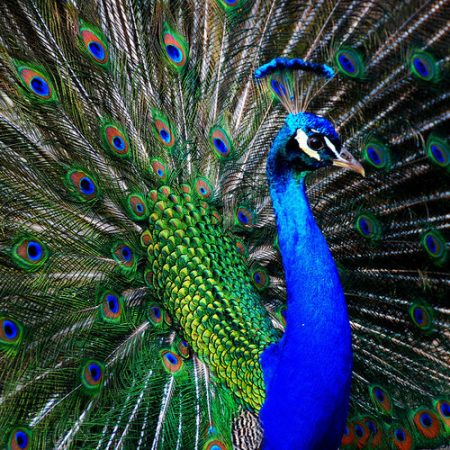 طاووس بالصور جديد (3)