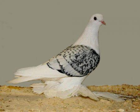 طيور حمام (1)