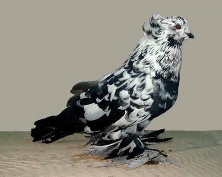 طيور حمام (3)