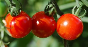 صور طماطم (2)