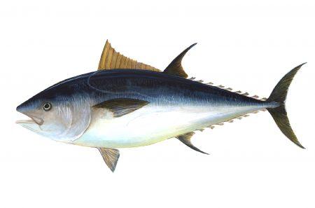 اشكال و صور سمك التونة (1)