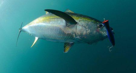 اشكال و صور سمك التونة (2)