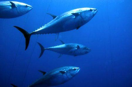 تونة سمكة (1)