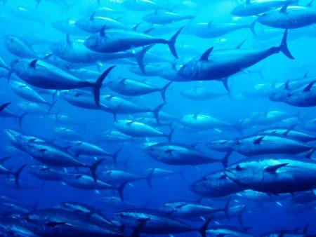 تونة سمكة (2)