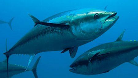 سمكة التونة (2)