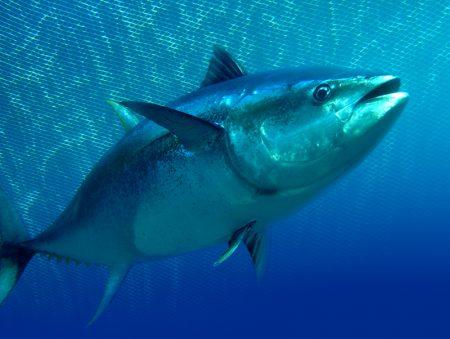 سمكه التونه (2)